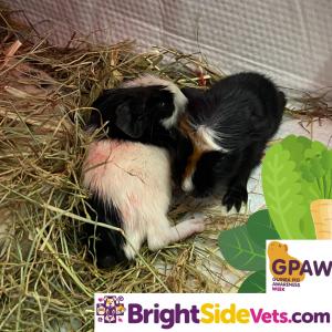 Lexi's Babies - Guinea Pig
