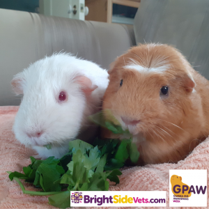 Guinea Pigs Herb and Flower