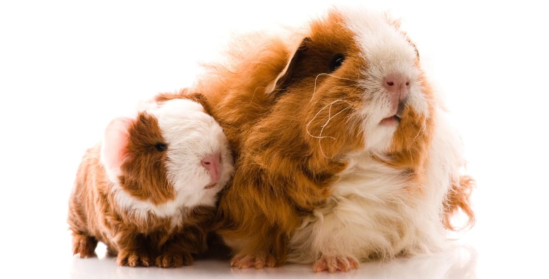 Lexi the Guinea Pig Super Mum!